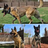 Mace and Koda showing off their new collars! They look so sweet yet the subtle warning on their name patches tells a completely different story🐾🦖 #miak9 #belgianmalinois #malinois #maligator #germanshepherddog #gsdofinstagram #dogstagram #dogcollars